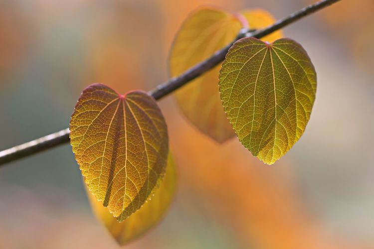 Cercidiphyllum japonicum Cercidiphyllum Japonicum Leaf Plant Part Plant Close-up Leaf Vein Nature Autumn No People Focus On Foreground Beauty In Nature Growth Selective Focus Day Outdoors Tree Twig Green Color Natural Pattern Change Branch Leaves