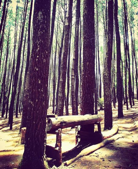 Forest Photography Pinus Forest Beauty In Nature