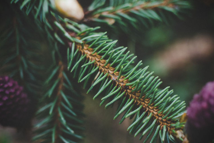 EyeEm Best Shots EyeEm Nature Lover Beauty In Nature Branch Close-up Coniferous Tree Day Eye4photography  Fir Tree First Eyeem Photo Focus On Foreground Freshness Green Green Color Growth Leaf Nature Needle - Plant Part No People Outdoors Pine Tree Plant Plant Part Selective Focus Tree