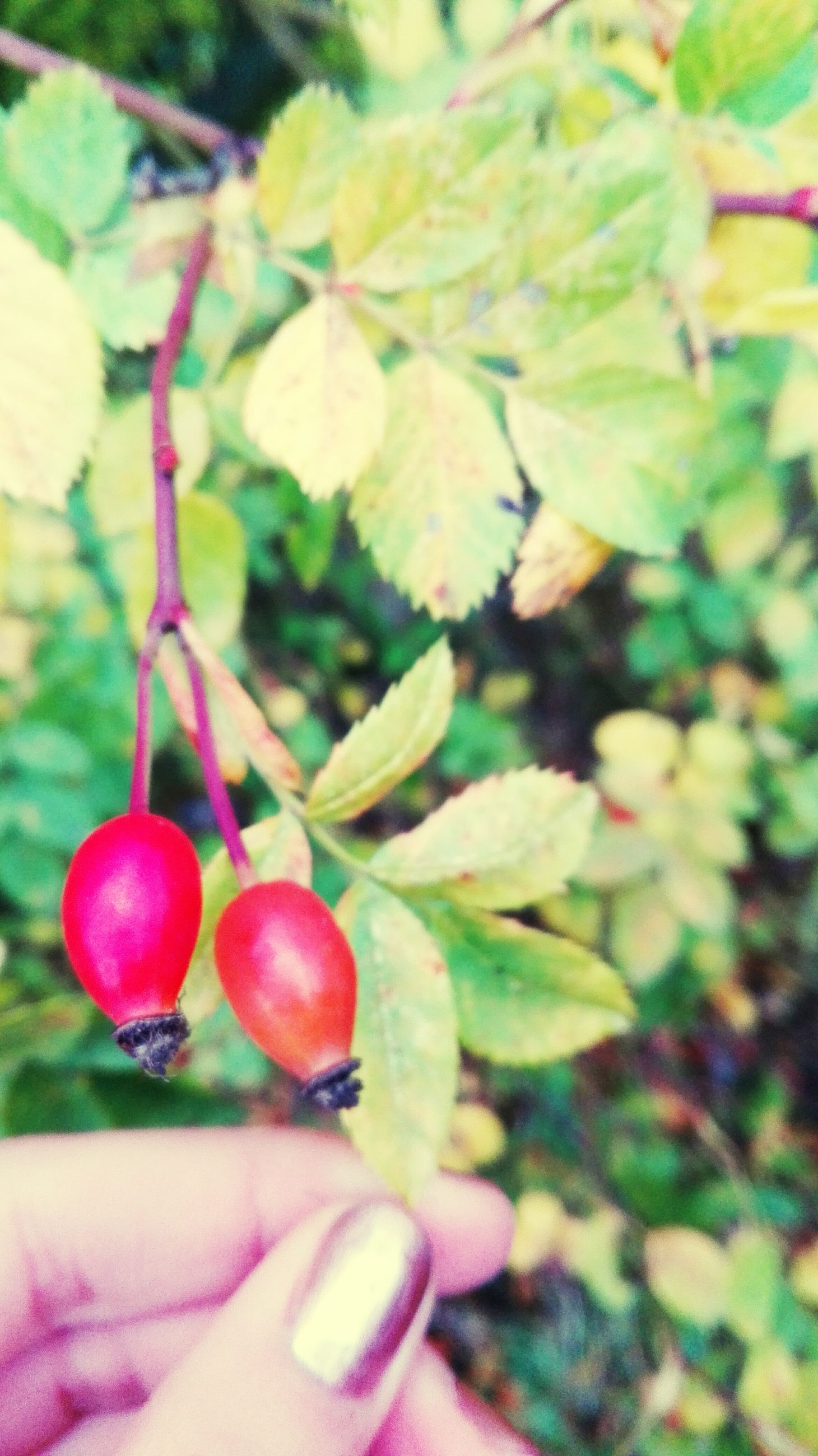 close-up, freshness, focus on foreground, leaf, fruit, growth, red, food and drink, selective focus, plant, nature, branch, stem, healthy eating, hanging, food, berry fruit, day, twig, beauty in nature