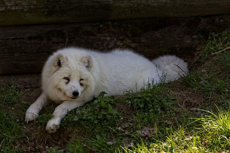 Polar Fox Pup