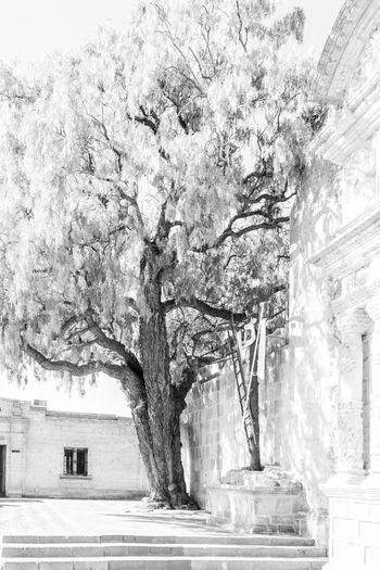 Yanahuara Tree