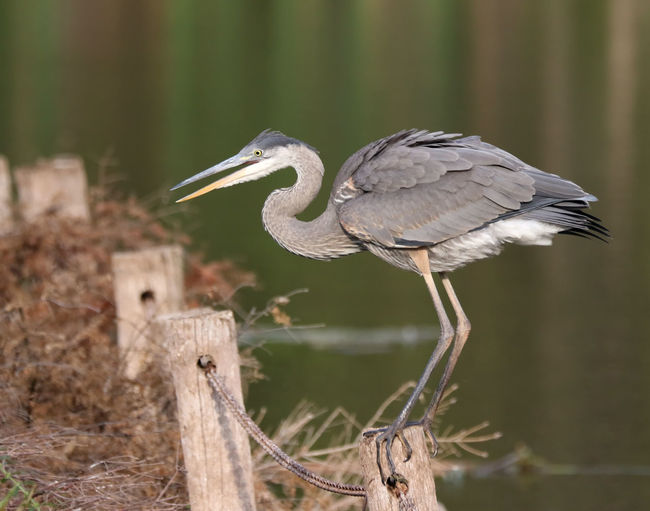 Close-up of gray heron perching on wooden post