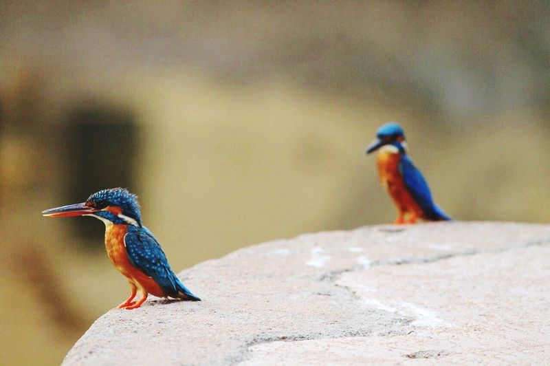 Kingfishers perching on rock