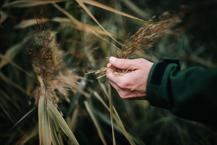 Close-up of man holding wheat crop