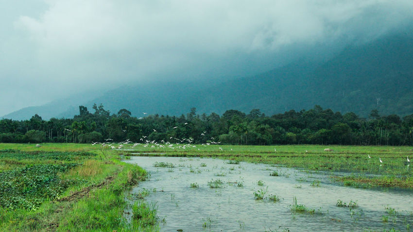 white birds in the rain Agriculture Beauty In Nature Day Field Fog Grass Growth Landscape Mountain Nature No People Outdoors Rice Paddy River Rural Scene Scenics Sky Tranquil Scene Tranquility Tree Water