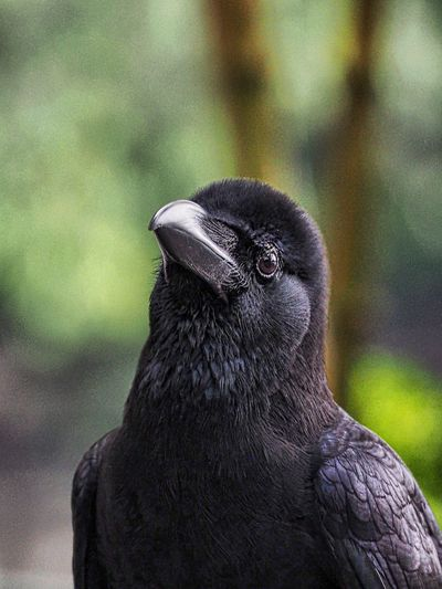 Crow Crow Bird Black Bird Raven