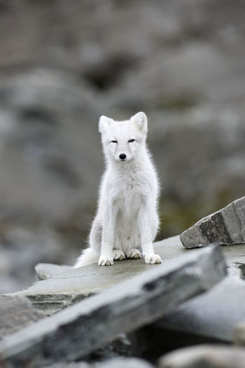 Arctic fox sitting on rock