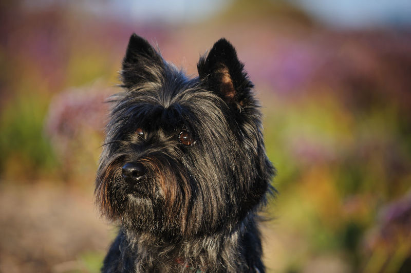 Cairn Terrier dog Animal Themes Cairn Cairn Terrier Day Dog Domestic Animals Focus On Foreground Mammal Nature No People One Animal Outdoors Pets Photography Portrait Purebred Terrier