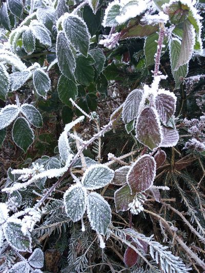 Ice on Leaves Beauty In Nature Frosty Ice Leaves Tranquil Scene Winter