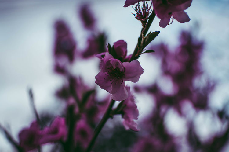 Flower Nature Beauty In Nature Fragility Blossom Purple Plant Botany Close-up Growth Petal Springtime Freshness No People Flower Head Outdoors Pink Color Tree Branch Day