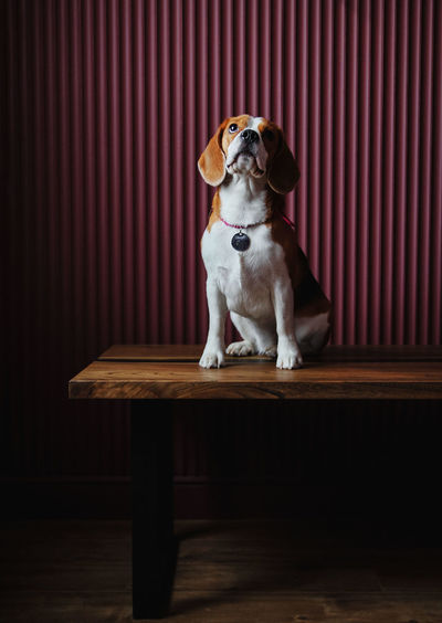 Dog sitting on wooden table