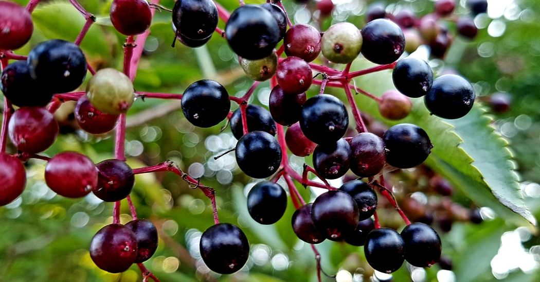 ...berries.... Tree Fruit Agriculture Grape Red Hanging Close-up Food And Drink