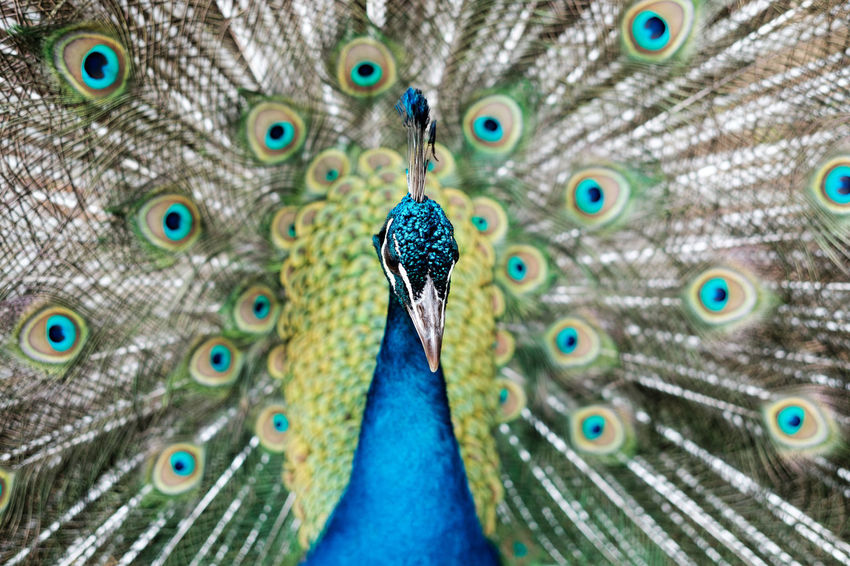 The story of Argus Animal Animal Head  Animal Themes Animals In The Wild Beauty In Nature Bird Birds Blue Close-up Feather  Focus On Foreground Looking At Camera Multi Colored Nature One Animal Paon Peacock Peacock ! Peacock Art Peacock Blue Peacock Colors Peacock Feather Peacock Feathers Peacock Portrait Peacockfeather