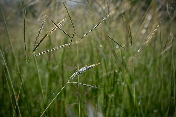 Plant Growth Grass Beauty In Nature Nature Focus On Foreground Green Color Land No People Close-up Day Tranquility Field Outdoors Fragility Selective Focus Vulnerability  Crop  Agriculture Water Blade Of Grass Timothy Grass Plantation