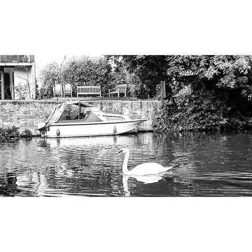 A Swans life.. Swan Boat Riverlee Bird Nature Bw Blackandwhite Ware Hertfordshire Picturesque Picoftheday Canal Water ican Capture Snapshot Sonyxperia XperiaZ3