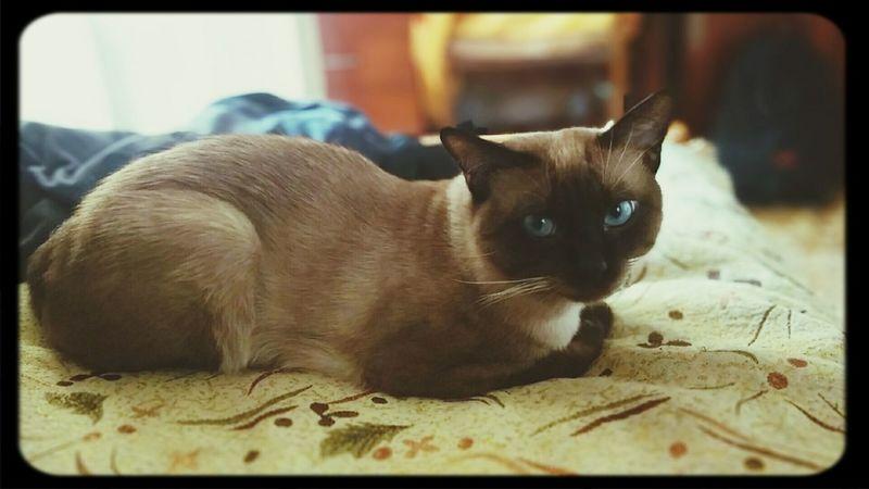 Мой котан Шон смотрит на меня вопрошающим взглядом и плохо скрываемым презрением =) ThaicatCat