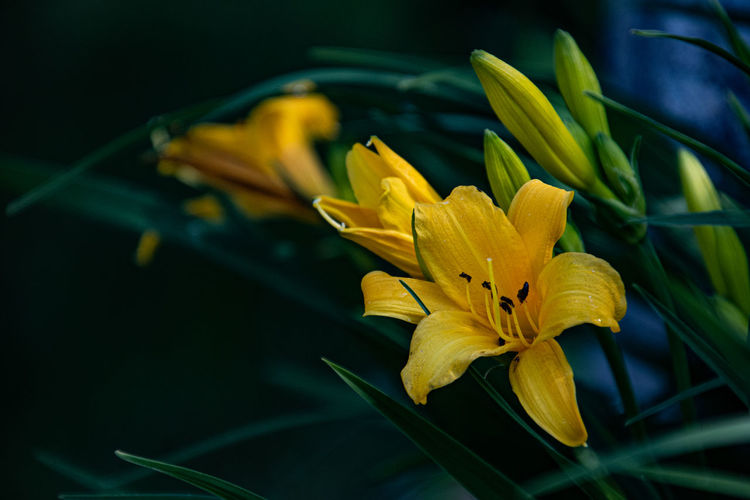 Close-up of yellow lily on plant