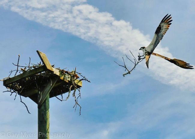 Take Flight In Flight Osprey  Osprey Nest  Osprey Wings Blue Sky Nest Building Wingspan Re Edited Re Edit/re Post