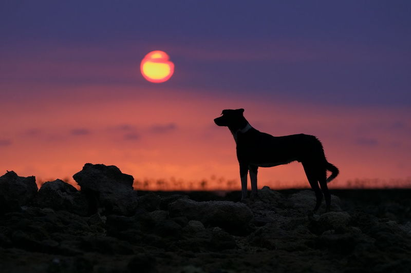 Silhouette horse standing on rock during sunset