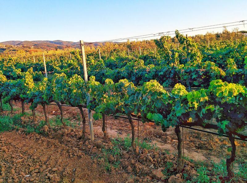 Grapefuit Wine Grapes Tuscany Wine Light Color Green