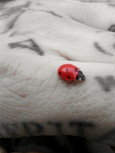 Red Ladybug Spotted Close-up Insect Day Nature Tattoo Tattoos Tattooedhand Knuckles Colorsplash