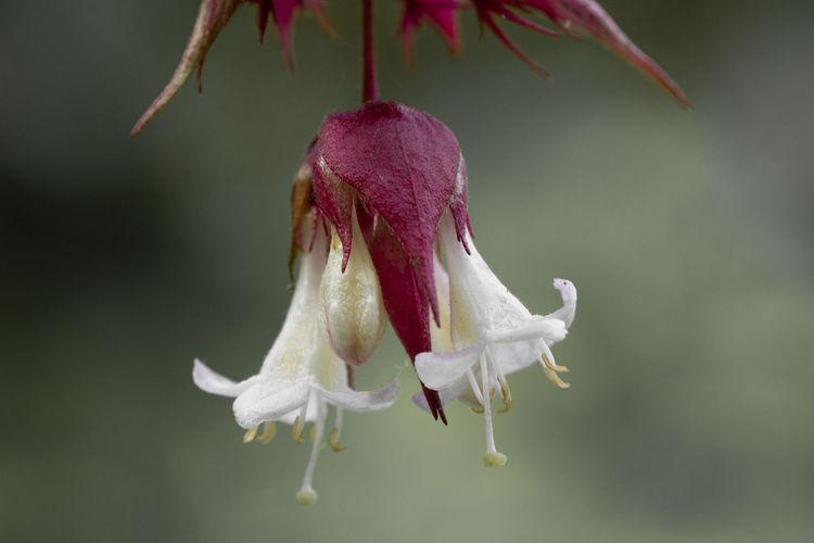 Colorsplash of flowers on a himalayan honeysuckle tree