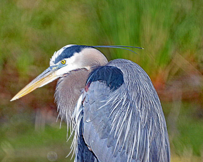 Beauty In Nature Bird Focus On Foreground Great Blue Heron North Carolina Birds Outdoors Water Bird Wildlife