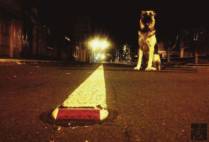 PastorAleman Illuminated Night Street Dogs Of EyeEm Pet Portraits