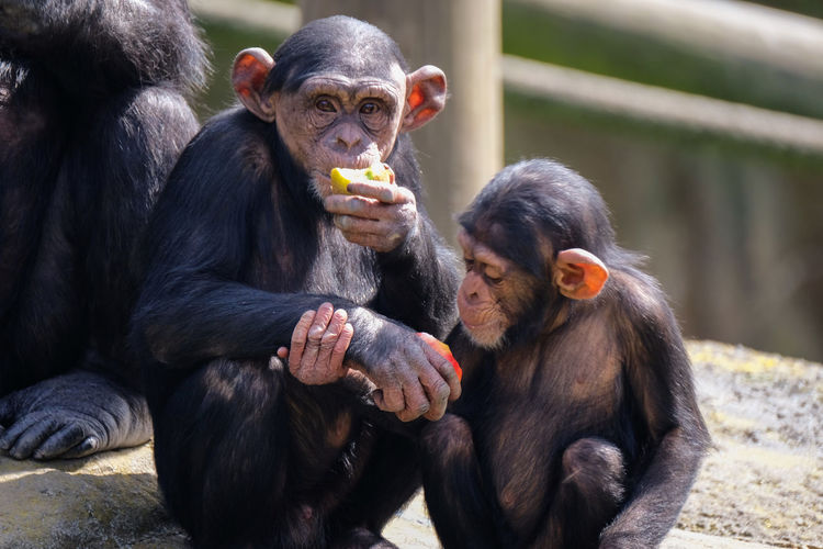 Portrait of monkey with infant eating food