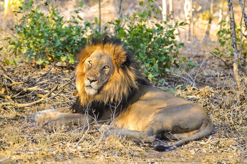 Portrait Of Lion Resting At Kruger National Park
