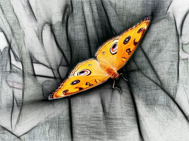 Butterfly Butterfly On Leaf Butterfly - Insect Nature Butterfly Wings Orange Peacock Pansy Butterfly Sketch My Edit Black And Orange Mobile Photography Colorsplash Showcase July Beautiful Nature Popular