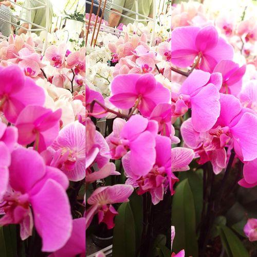 orchidea Tree