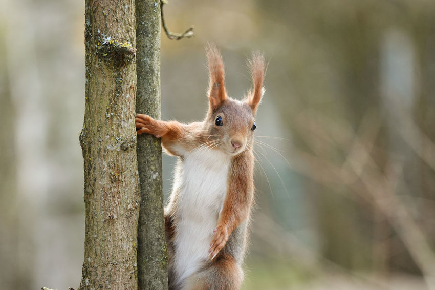Animal Themes Animal Wildlife Animals In The Wild Close-up Day Mammal Nature No People One Animal Outdoors Redsquirrel Squirrel Tree Tree Trunk