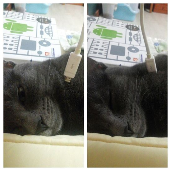 Low Battery / Rechargeable / Russian Blue / Mata / Cat
