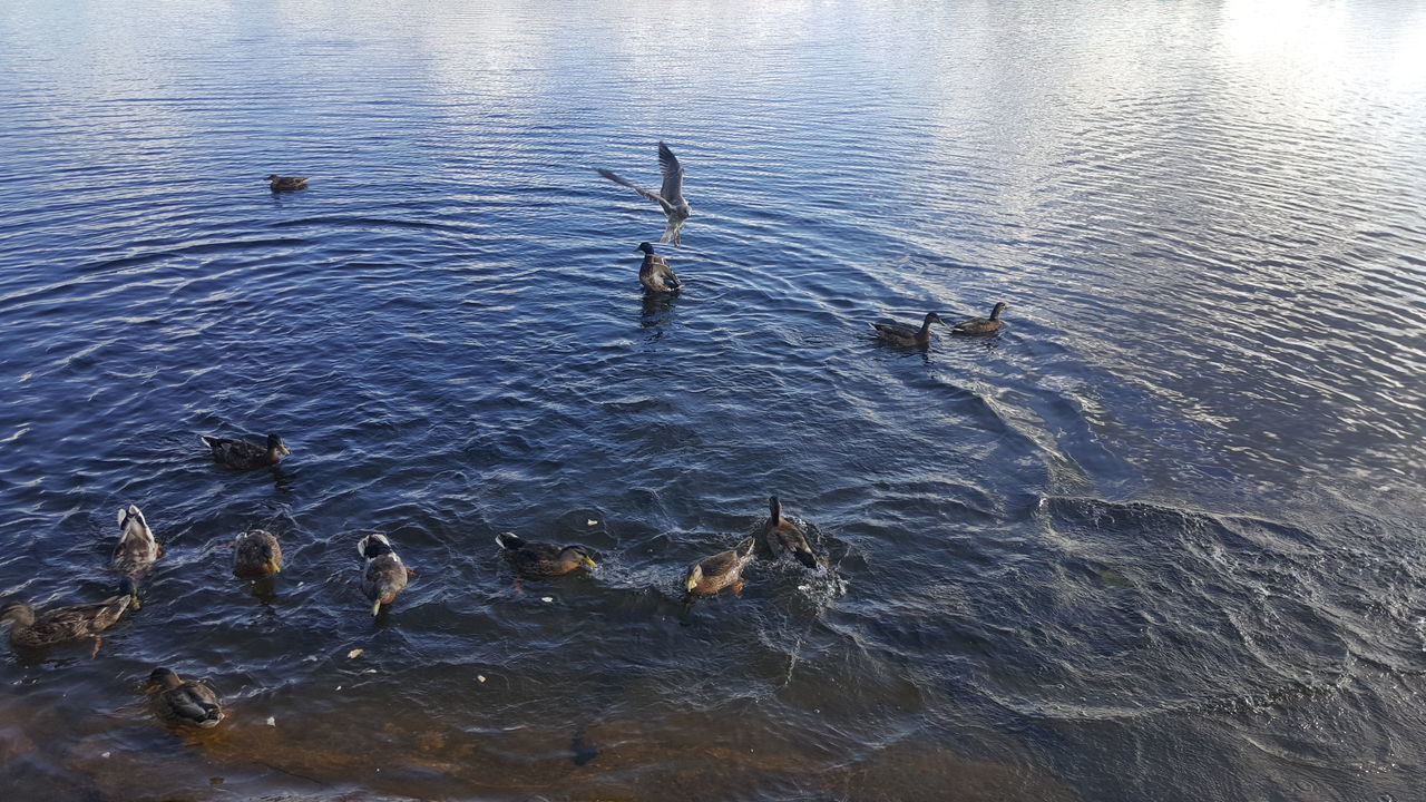 water, animals in the wild, animal themes, bird, high angle view, waterfront, no people, nature, rippled, animal wildlife, lake, swimming, day, togetherness, outdoors, swan, beauty in nature