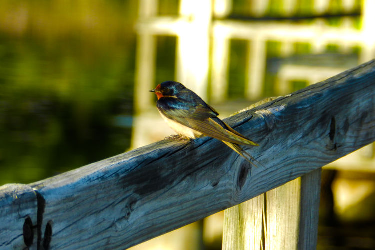 Barn Swallow Avian Barn Swallow Beauty In Nature Bird Black Color Blue Close-up Crosswinds Marsh Day Feather  Feather  Feathers Focus On Foreground Marsh Michigan Nature No People Outdoors Perching Selective Focus Wood Wood - Material Wooden Wooden Post Yellow
