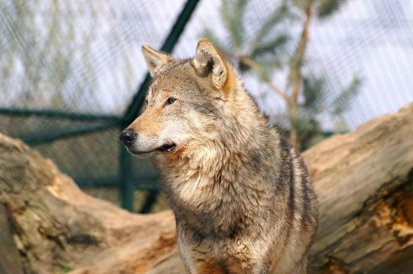 Wolf in zoo looks to the left Animal Themes Animals In The Wild Domestic Animals Focus On Foreground No People One Animal Wildlife Wolf Zoo Animals  Zoology