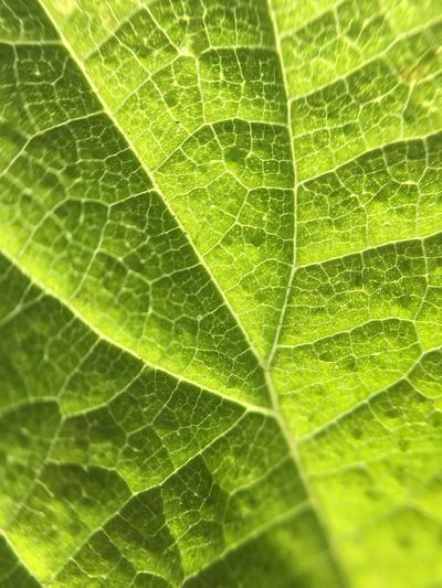 Leaf Leaf Backgrounds Green Color Full Frame Close-up Nature No People Day Growth Freshness Beauty In Nature Outdoors