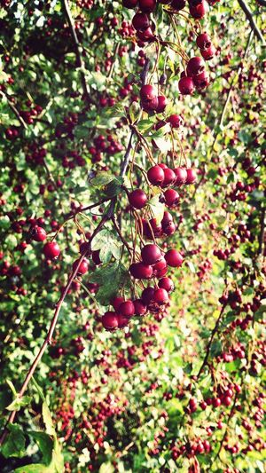 Berry Red Berries