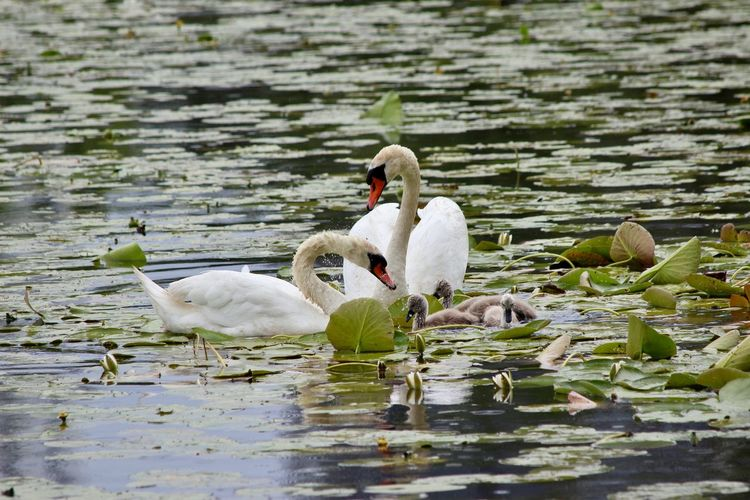 Råstasjön Bird Photography Animal Animal Family Animal Themes Animal Wildlife Animals In The Wild Animalsinthewild Bird Cygnet Day Floating On Water Gosling Group Of Animals Lake Nature No People Reflection Swan Swanfamily Swimming Vertebrate Water Waterfront Young Animal Young Bird