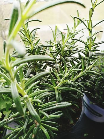 Plant Growth Leaf Green Color No People Close-up Day Rosemary Herb Rosemary Herb Herbs EyeEmNewHere