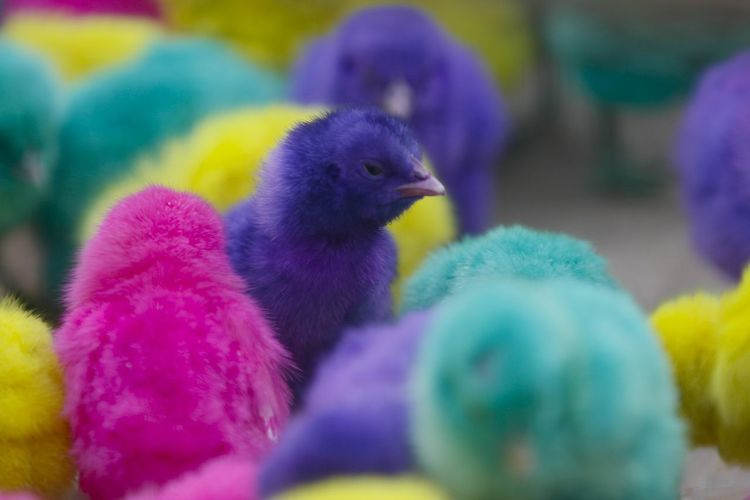 Colorful chickens in Indonesia. Bird Animal Animal Themes Vertebrate Young Bird Group Of Animals Close-up Young Animal Baby Chicken Selective Focus No People Chicken - Bird Livestock Day Multi Colored Domestic Animals Animal Wildlife Yellow Nature Outdoors Softness Purple