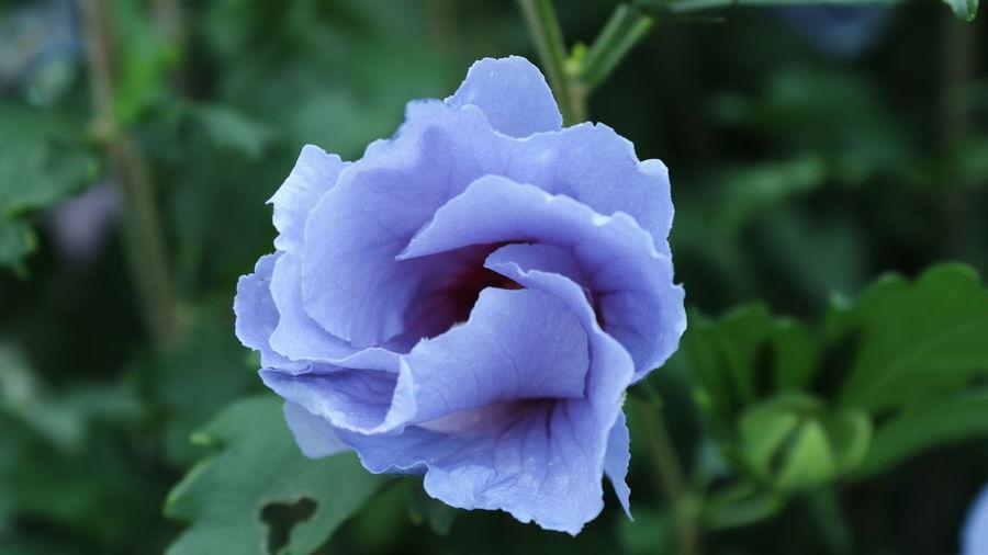 Ipomée Flower