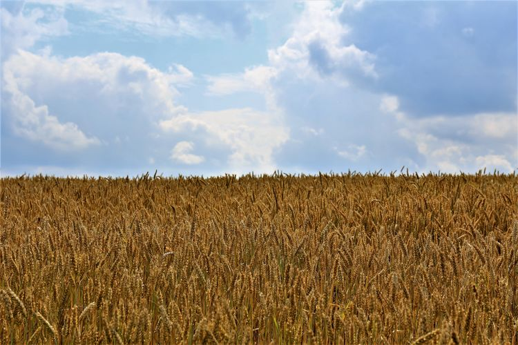 Tranquility Cereal Plant Growth Plant Nature Beauty In Nature Rural Scene Farm Agriculture Field Landscape Land Crop  No People Outdoors Plantation Tranquil Scene Scenics - Nature Sky Cloud - Sky Environment Day Stalk
