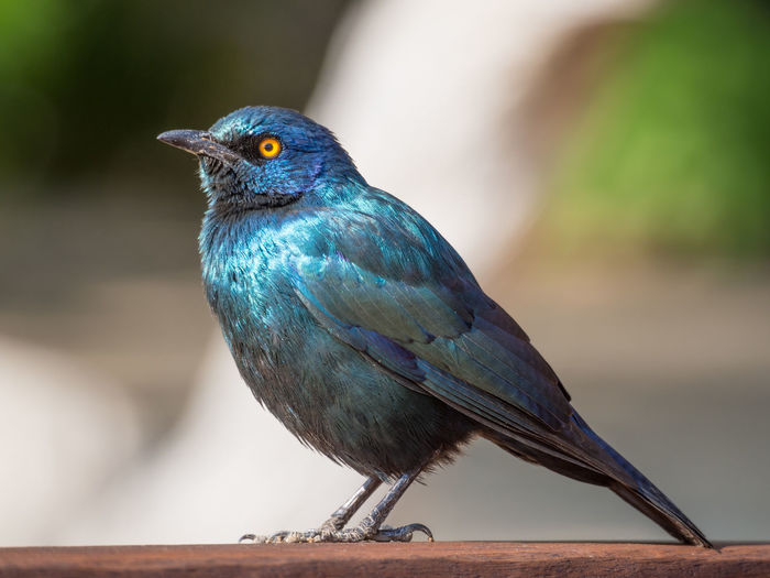 Close-up of glossy starling bird perching on wood, namibia