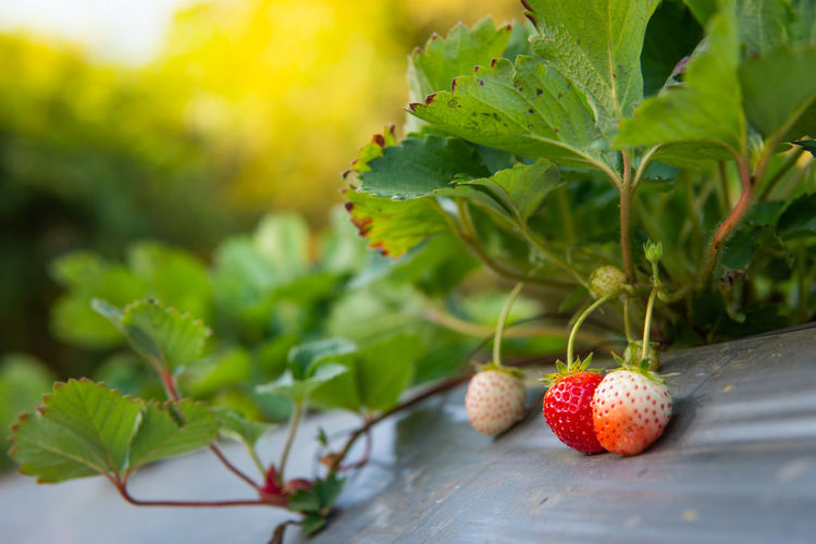 Fruit Healthy Eating Leaf Food Strawberry Freshness Nature Growth Red Outdoors Ripe