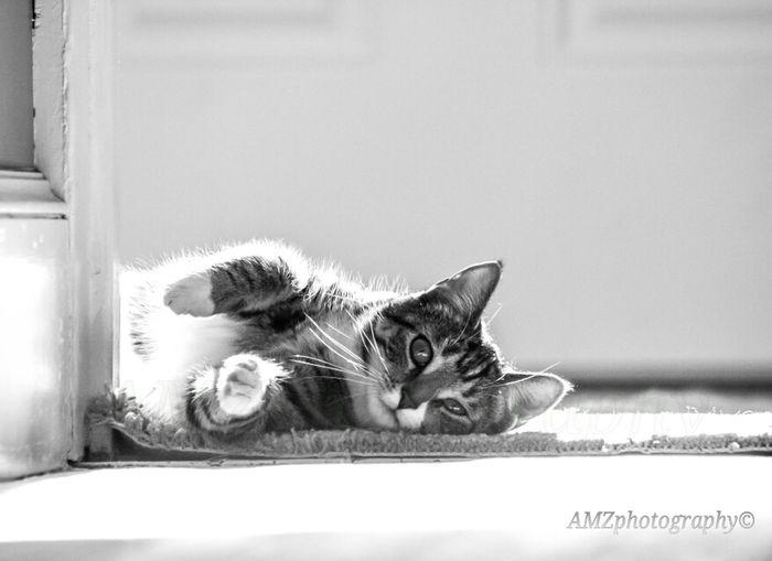 Cat Blackandwhite Pets Enjoying Life