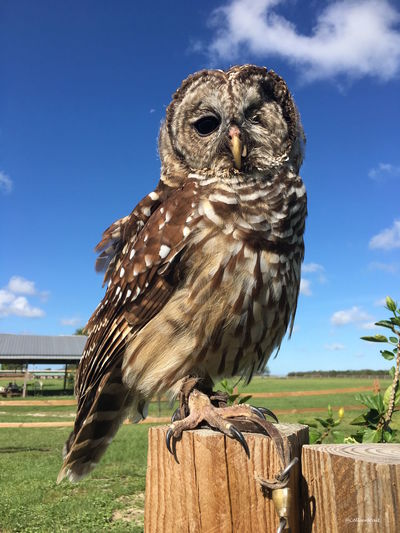 One-eyed owl on a post Animal Themes Animal Wildlife Animals In The Wild Bird Bird Of Prey Close-up Day Low Angle View Nature No People One Animal Outdoors Owl Perching Portrait Sky