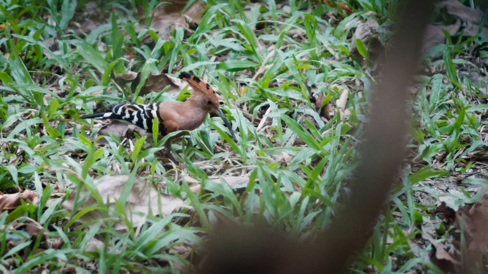 Hoopoe Bird, Upupa epops Animal Themes Animals In The Wild Beauty In Nature Bird Day Field Green Green Color Growth Hoopoe Bird Leaf Nature No People One Animal Plant Tranquility Upupa Epops Wildlife Zoology